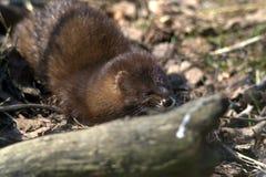 Eurasianuttern, också som är bekant som den europeiska uttern Fotografering för Bildbyråer