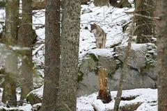 Eurasianvarg i den vita vinterlivsmiljön, härlig vinterskog Arkivfoto