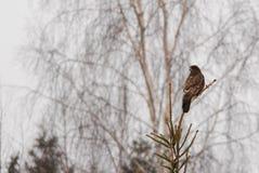 Eurasien Buzzard Image libre de droits