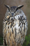 Eurasien Eagle Owl Photos stock