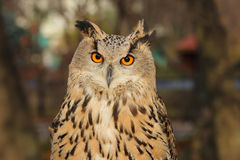 Eurasien Eagle Owl images stock