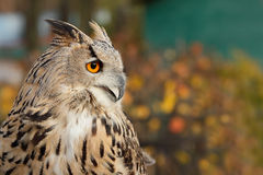 Eurasien Eagle Owl photographie stock