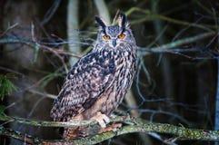 Eurasien Eagle Owl Photo stock