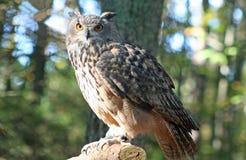 Eurasien Eagle Owl image stock