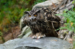 Eurasien Eagle Owl Photos stock