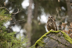 Eurasien Eagle Owl avec la proie photographie stock