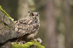 Eurasien Eagle Owl avec la proie image stock