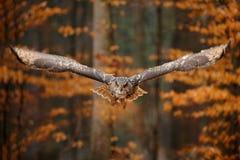 Eurasien Eagle Owl, bubo de Bubo, avec les ailes ouvertes en vol, habitat de for?t ? l'arri?re-plan, arbres oranges d'automne Sc? photo libre de droits