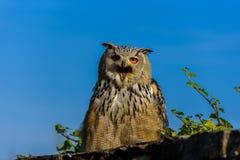 Eurasien Eagle Owl (Bubo de Bubo) s'asseyant sur le tron?on, plan rapproch?, photo de faune photo stock