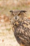 Eurasien Eagle Owl Bubo Bubo en captivité, fauconnerie Photographie stock libre de droits