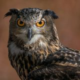 Eurasien Eagle Owl IV Photos stock