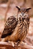 Eurasien Eagle Owl - regard fixe intense images stock