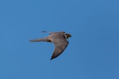 Eurasien hobby (falco subbuteo). Eurasien hobby during flight with blue sky Stock Photo