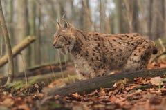 Eurasien Lynx Photo libre de droits
