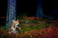 Eurasien Lynx Image stock