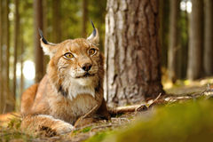 Eurasien Lynx Photos stock