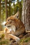 Eurasien Lynx Photo stock