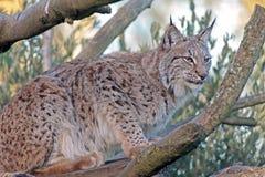 Eurasien Lynx Photographie stock libre de droits
