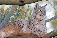 Eurasien Lynx Photographie stock
