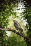 Eurasien Sparrowhawk dans la forêt italienne Photographie stock