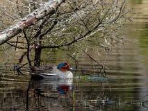 Eurasien Teal - crecca d'ana photo stock