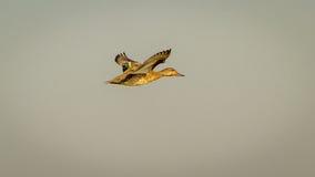 Eurasien Teal de vol Image libre de droits