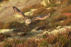 Eurasien volant Tawny Owl, aluco de Strix, dans la forêt d'automne à l'arrière-plan photo libre de droits