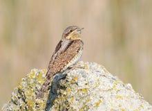 Eurasien Wryneck (torquilla de Jynx) sur une roche Image libre de droits