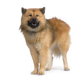 Eurasier Images stock
