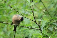 Eurasier Bullfinch Lizenzfreies Stockfoto