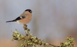 Eurasier Bullfinch - Pyrrhula Pyrrhula - Frau Stockbilder