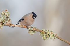 Eurasier Bullfinch - Pyrrhula Pyrrhula - Frau Stockfotografie