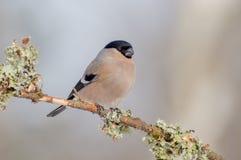 Eurasier Bullfinch - Pyrrhula Pyrrhula - Frau Lizenzfreie Stockfotos