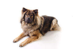 Eurasier Dog. A isolated shot of an Eurasier dog Royalty Free Stock Image