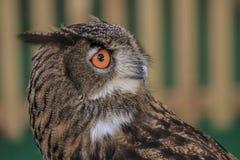 Eurasier-Eagle-Eule Lizenzfreie Stockfotografie