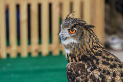 Eurasier-Eagle-Eule Stockbilder
