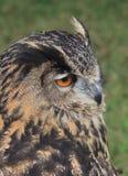 Eurasier Eagle Owl 2 Lizenzfreies Stockbild