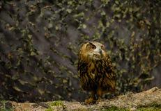 Eurasier Eagle Owl Stockbild