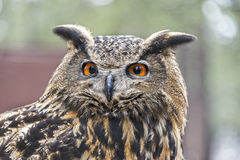 Eurasier Eagle Owl Stockfotografie