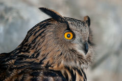 Eurasier Eagle Owl Lizenzfreie Stockfotos