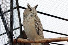 Eurasier Eagle Owl Lizenzfreie Stockfotografie