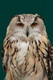 Eurasier Eagle Owl Stockfoto