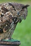 Eurasier Eagle Owl Lizenzfreie Stockbilder