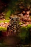 Eurasier Eagle Owl auf dem Felsen Stockfotos