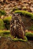 Eurasier Eagle Owl auf dem Felsen Lizenzfreie Stockfotos