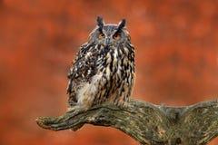 Eurasier Eagle Owl, Bubo Bubo, sitzend auf dem Baumstumpf, Nahaufnahme, Foto der wild lebenden Tiere im Wald, orange Herbstfarbe, Lizenzfreie Stockfotos