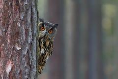 Eurasier Eagle Owl, Bubo Bubo, versteckt vom Baumstamm im Winterwald, Porträt mit großen orange Augen, Vogel im Natur habita Stockbild
