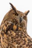 Eurasier Eagle Owl Bubo Bubo in der Gefangenschaft drehte sich herum, Falknerei Lizenzfreie Stockbilder