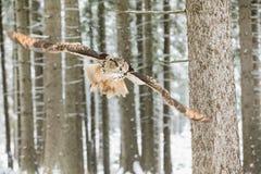 Eurasier Eagle Owl, Bubo Bubo, Fliegenvogel mit offenen Flügeln im Winterwald, Wald im Hintergrund, Tier im Natur habita Stockfoto