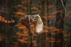 Eurasier Eagle Owl, Bubo Bubo, mit offenen Fl?geln im Flug, Waldlebensraum im Hintergrund, orange Herbstb?ume Szene der wild lebe stockfotos